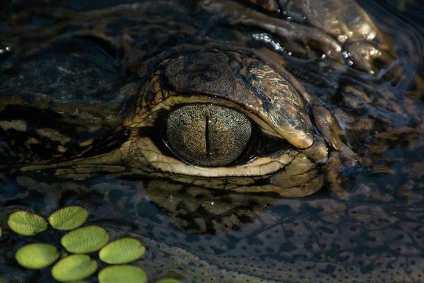 Gators Eye Poster