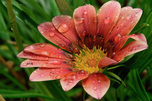 Gazania After The Rain Poster