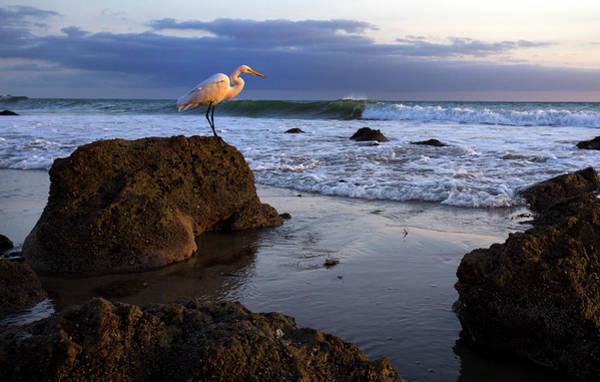 Giant Egret Poster