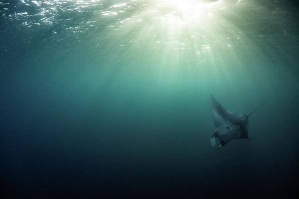 Poster featuring the photograph Giant Manta Ray by Nicole Young