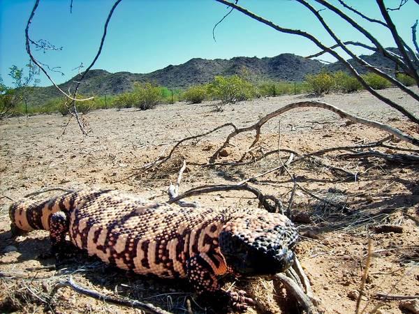 Gila Monster In The Arizona Sonoran Desert Poster