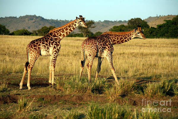 Giraffe Drinking In The Grasslands Of Poster