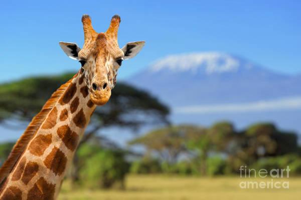 Giraffe In Front Of Kilimanjaro Poster