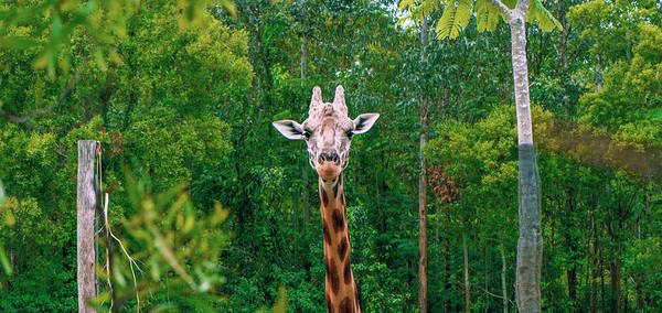 Giraffe Looking For Food During The Daytime. Poster
