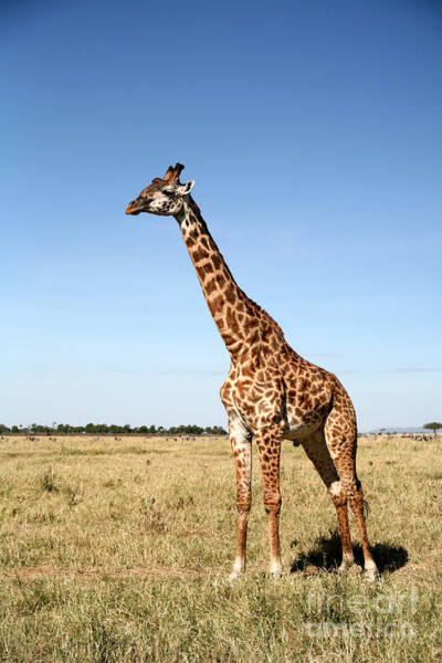 Giraffe Standing In The Grasslands Of Poster