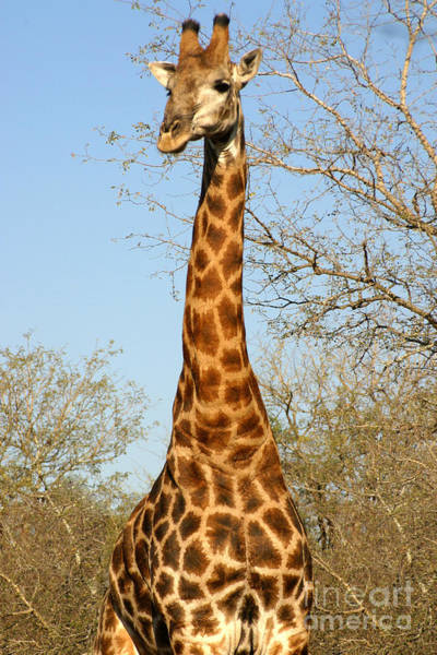 Giraffe Standing In The Trees Kruger Poster