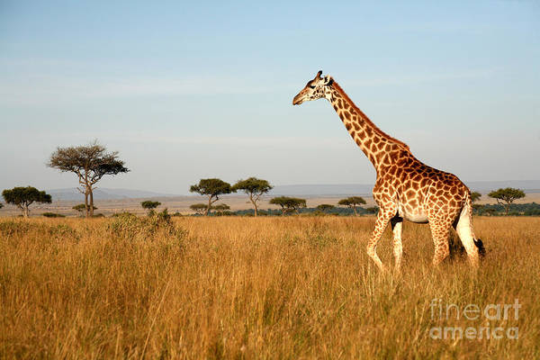 Giraffe Walking Through The Grasslands Poster