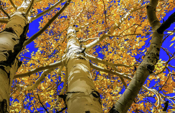 Golden Aspens In Grand Canyon Poster