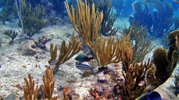 Gorgonian Parrotfish Poster