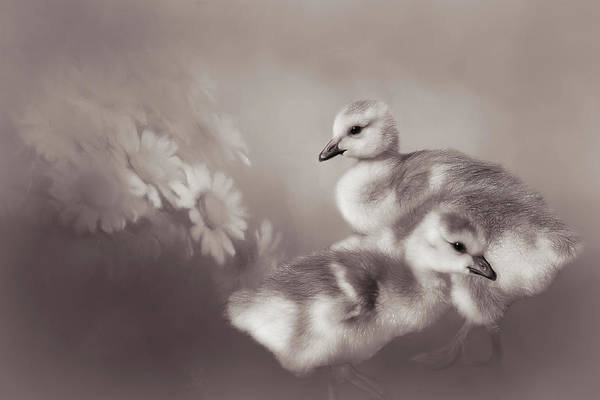 Goslings And Daisies - Sepia Poster