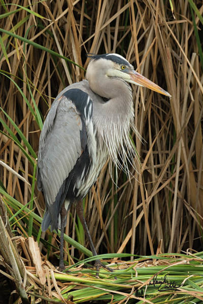 Great Blue Heron On Padre Island Poster