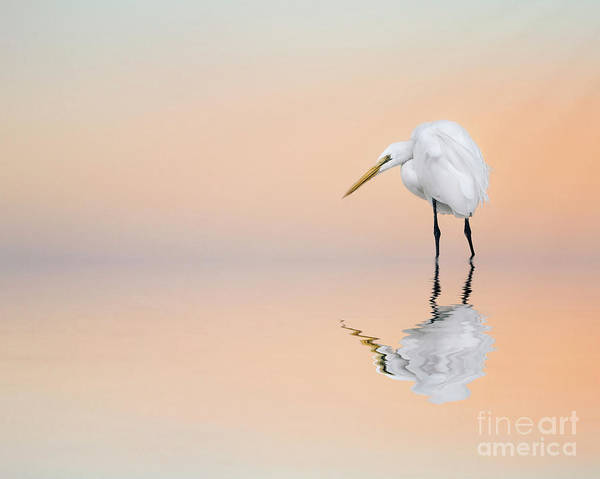 Great Egret Reflecting Poster