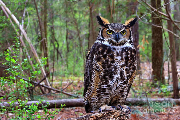 Great Horned Owl Standing On A Tree Log Poster