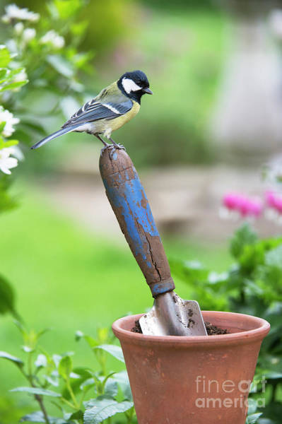 Great Tit Standing On A Garden Trowel  Poster