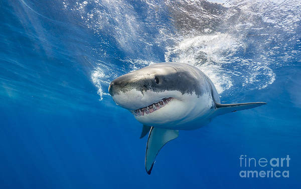 Great White Shark Swimming Just Under Poster