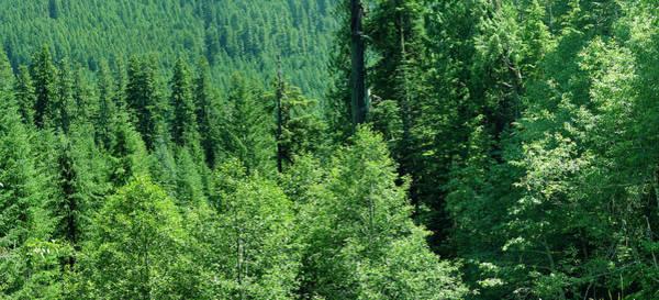 Green Conifer Forest On Steep Hillside  Poster