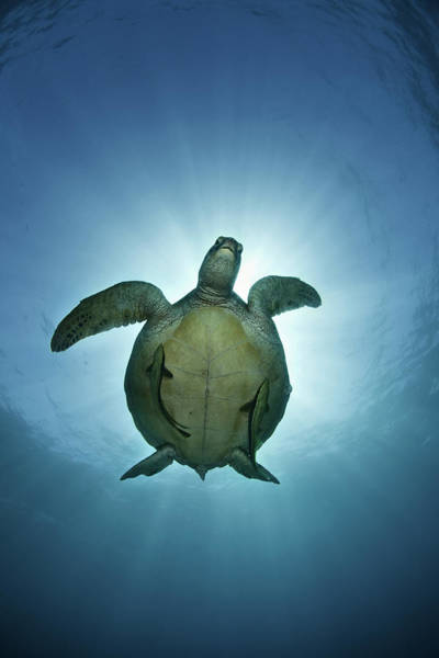 Green Sea Turtle Over Sun Poster