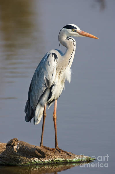 Grey Heron  Ardea Cinerea  South Africa Poster