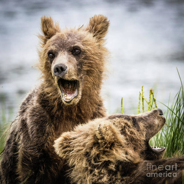 Grizzly Cubs Looking For Their Mum Poster