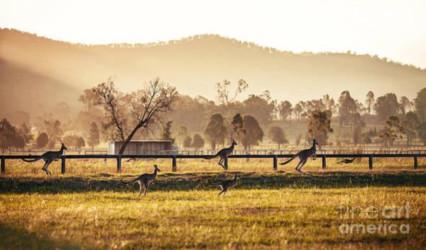 Group Of Australian Kangaroos At Hunter Poster