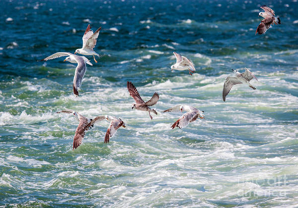 Group Of Seagulls Over Sea Poster