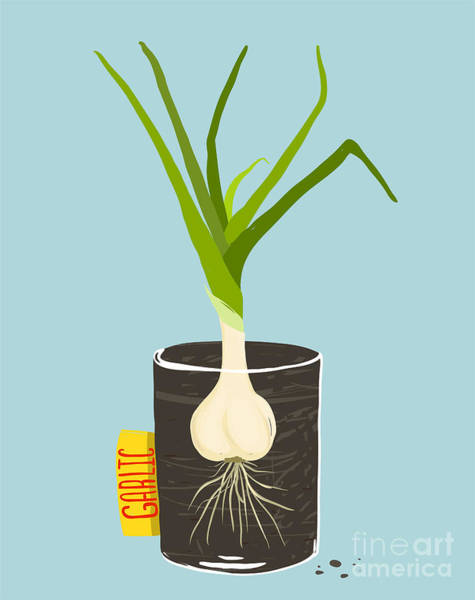 Growing Garlic With Green Leafy Top In Poster