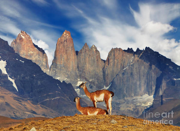 Guanaco In Torres Del Paine National Poster