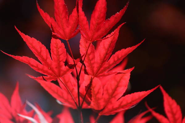 Guardsman Red Japanese Maple Leaves Poster