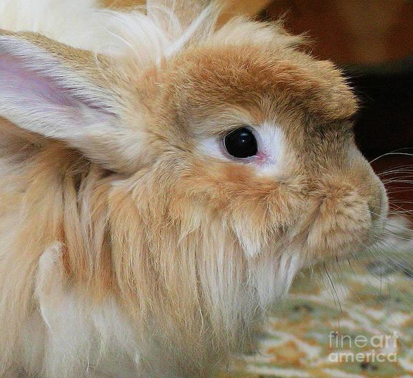Hairy Rabbit Poster