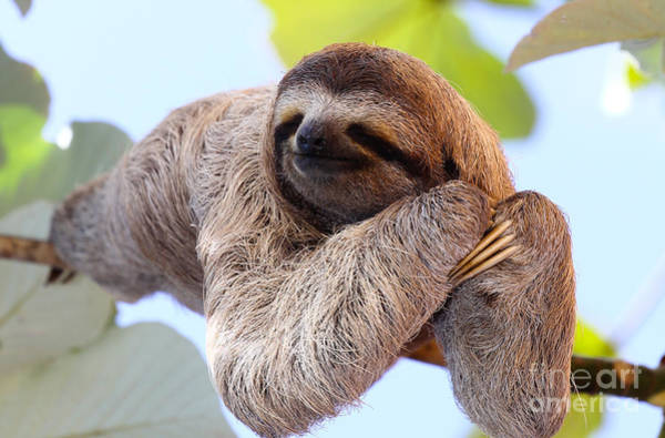 Happy Sloth Hanging On The Tree Poster