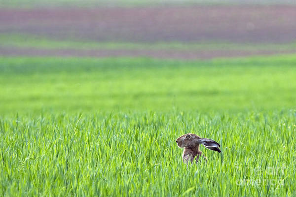 Hare Sitting In The Grass On The Field Poster