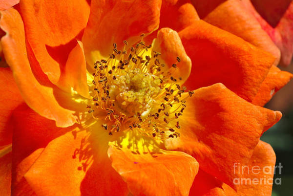 Heart Of The Orange Rose Poster