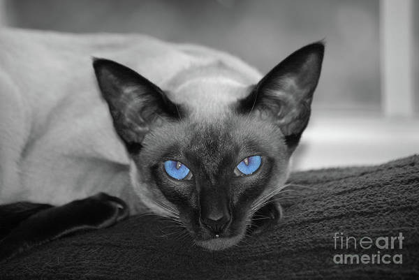Hey There Blue Eyes - Siamese Cat Poster