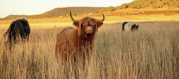 Highland Cows On The Farm Poster