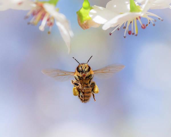 Honeybee Suspended On Air Poster