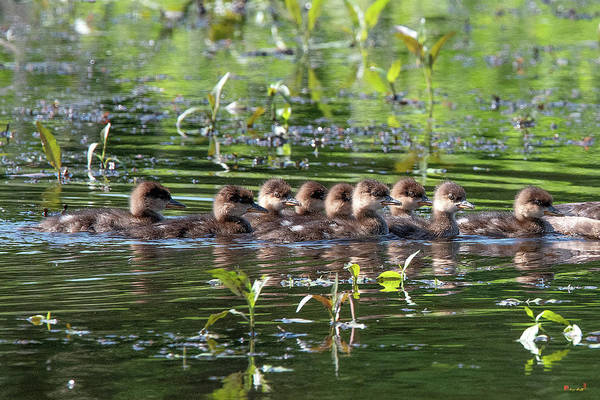 Hooded Merganser Ducklings Dwf0203 Poster