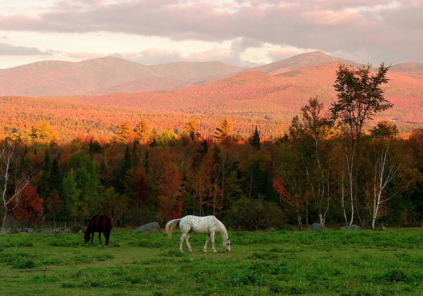 Horses Grazing During The New England Poster