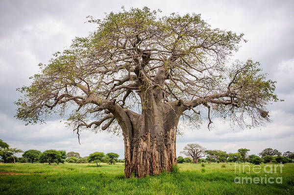 Huge Baobab Tree In The Tarangire Poster