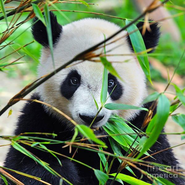 Hungry Giant Panda Bear Eating Bamboo Poster