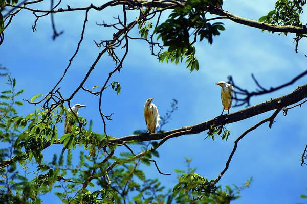 Ibis Perch Poster