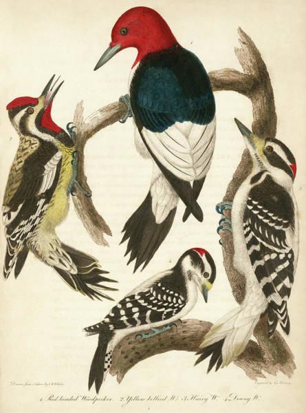 1. Red-headed Woodpecker. 2. Yellow-bellied Woodpecker. 3. Hairy Woodpecker. 4. Downy Woodpecker. Poster