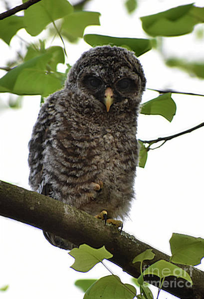 Immature Barred Owl Poster