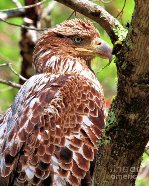 Immature Eagle Poster