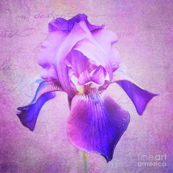 Pretty In Purple Iris Poster