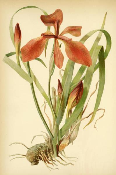 Iris Cuprea Copper Iris.  Poster