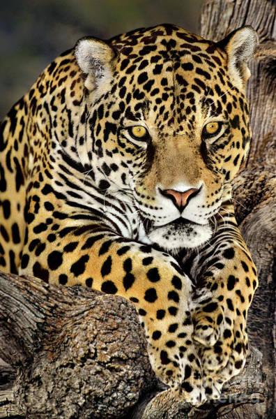 Jaguar Portrait Wildlife Rescue Poster