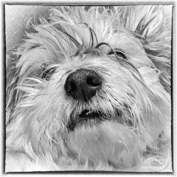 Coton De Tulear Dog Poster