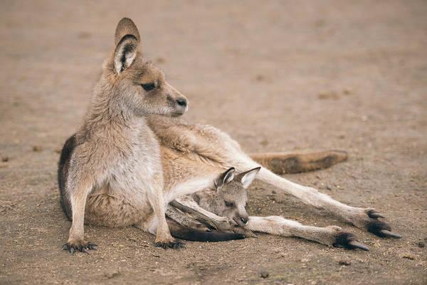 Kangaroo Outside Poster