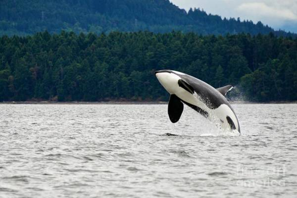 Killer Whale Breaching Near Canadian Poster