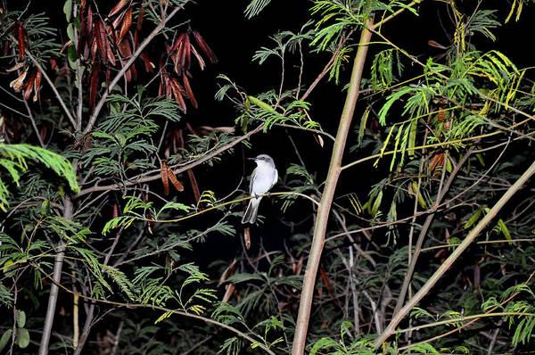 Kingbird At Night Poster